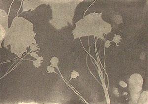 Fotogramm von Lindenblüten